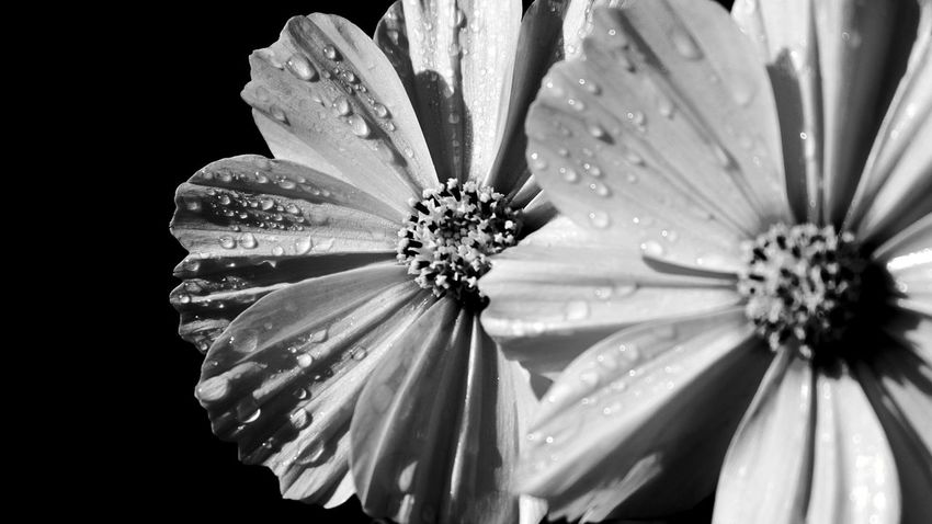 two beauties Morning Dew Waterpearls Beauty Natural Structures Blackandwhite Atmospheric Mood Still Life Botanical Structures In Nature Morning Light Shadowplay EyeEm Best Shots EyeEm Nature Lover EyeEm Best Edits EyeEm Masterclass EyeEm Best Shots - Black + White Simplicity In Nature Monochrome Silence Flower Head Flower Petal Close-up Pollen Cosmos Flower Blooming In Bloom