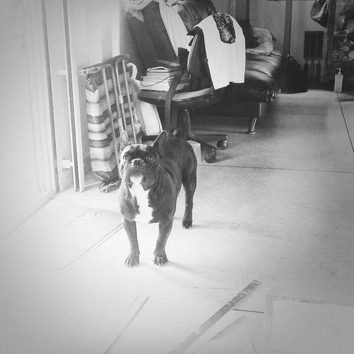 Fernchbulldog Dog Love Dog Days Dog