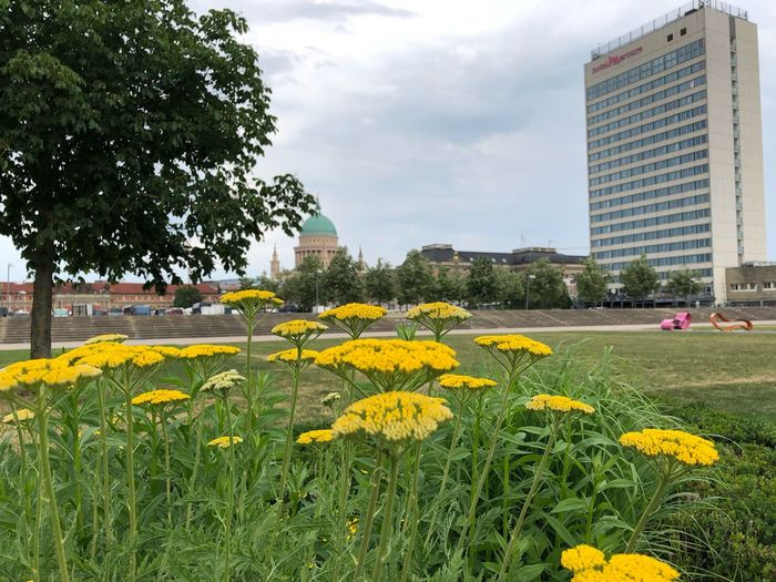 Potsdam IPhone X IPhone X Photography Lustgarten Potsdam Flower Head Nikolaikirche Plant Growth Flower Building Exterior Flowering Plant Built Structure Architecture Sky Nature Yellow Tree Day Beauty In Nature Freshness Cloud - Sky City No People Building Fragility Field