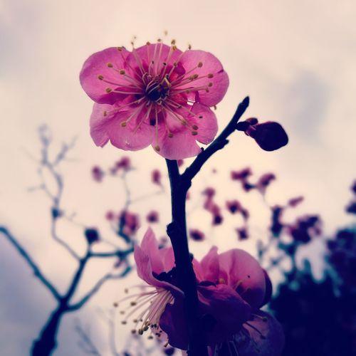 #plum #flowers #plum #flowers