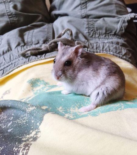 Russian Dwarf Hamsters  My Hamster Hamster Love Dwarf Hamster