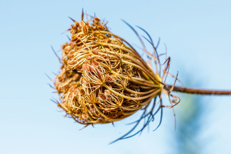 Close-up of dried plant against clear sky