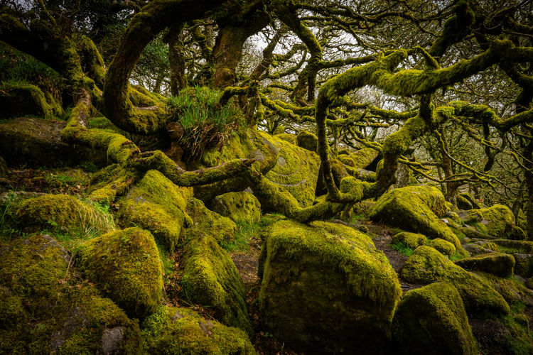 What a beautiful piece of abandoned forest in Dartmoor. Uk England Dartmoor Plant Tree Green Color Beauty In Nature Growth Moss Nature Tranquility No People Lush Foliage Foliage Day Forest Land Scenics - Nature Tree Trunk Environment Trunk Tranquil Scene Branch WoodLand Outdoors Rainforest
