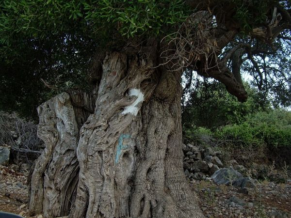 Croatia EyeEm Nature Lover Island Pag Old Trees Olive Oil Tree