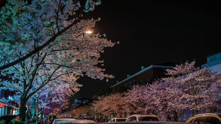 中国上海宝山区永乐路最美樱花街