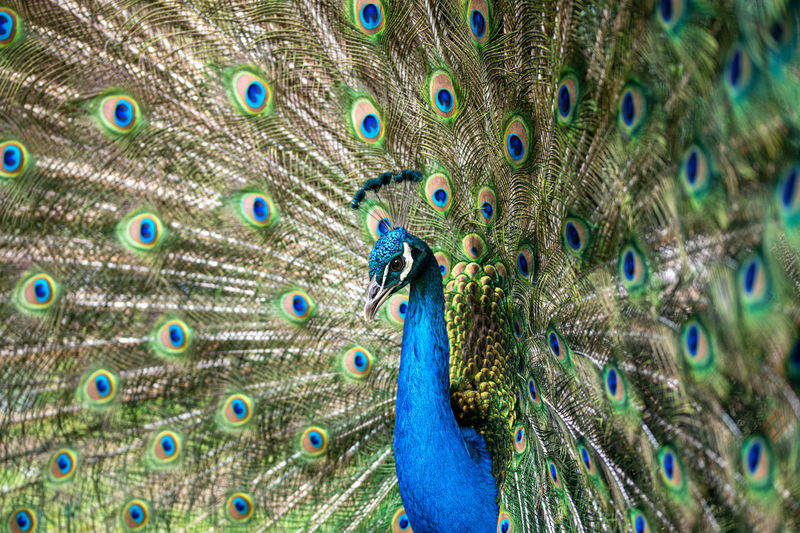 Male peafowl peacock bird, pavo cristatus, with full display tail feathers