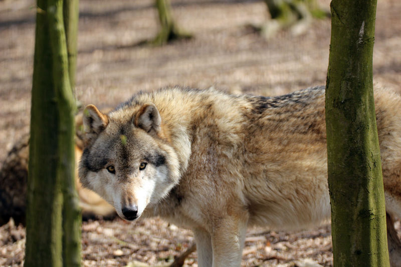Animal Animal Themes Animal Wildlife Animals In The Wild Eye Em Nature Lover Focus On Foreground Mammal Nature No People One Animal Outdoors Watcher Watching You Wolf
