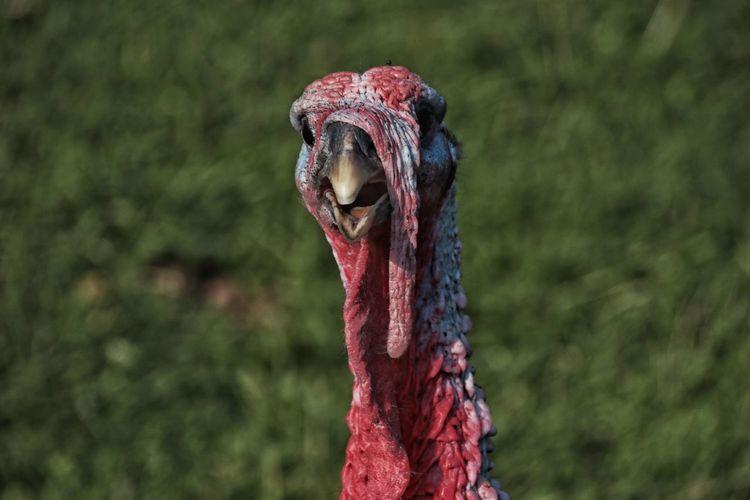 Turkey Day II