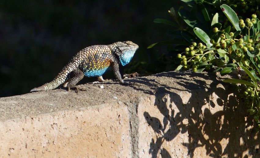 Palm Springs Lizard Early Morning Just Around The Corner
