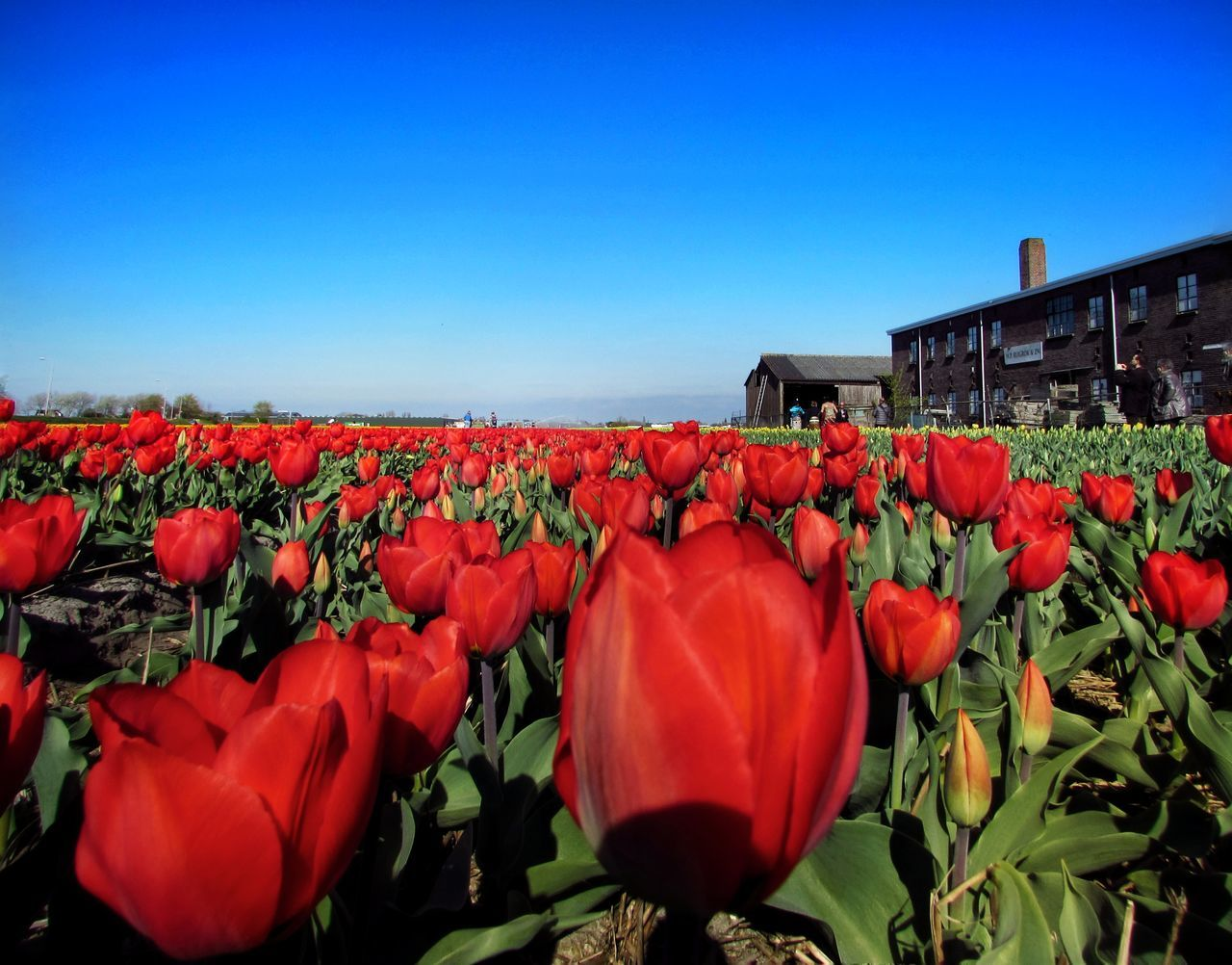 flower, beauty in nature, nature, fragility, red, growth, petal, plant, freshness, outdoors, clear sky, day, flower head, no people, field, blooming, springtime, tulip, blue, scenics, sky