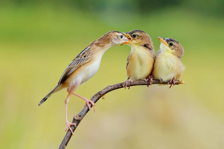Feeding Baby Memensaputra EyeEm Best Shot 2018 INDONESIA Birds Feeding  Feed  Babies Baby Birds Burung My Shot  Photography Nikon 300mm Cici Padi Yellow Great