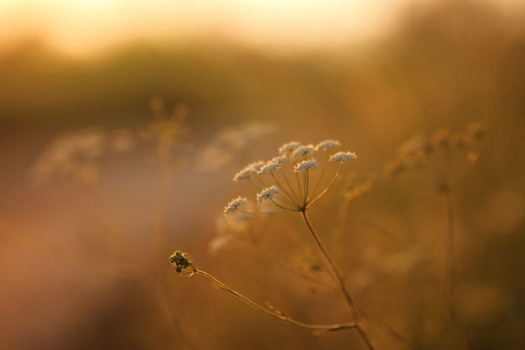 Beauty In Nature Botany Close-up Countryside Flower Flowers Focus On Foreground Fragility Growth Hot Hovering Light And Shadow Macro Nature No People Outdoors Plant September Streetphotography Summer Sun Sunset Tranquility Uncultivated White