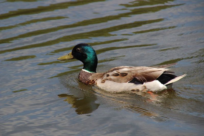 EyeEm Selects Animal Themes Duck Swimming mallard Green Head Duck Water reflections Outdoors Nature