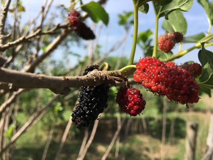Mulberry Fruit Mulberry Fruit Red Focus On Foreground Growth Tree Freshness Close-up Nature Food And Drink Hanging Outdoors Healthy Eating Branch Food Day No People