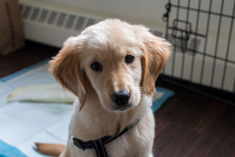 A New Beginning Puppy PuppyLove Golden Retriever Dog Canine Pets Domestic One Animal Domestic Animals Mammal Animal Themes Indoors  Portrait Looking At Camera Focus On Foreground Sitting Young Animal Close-up Retriever Animal Head  Pup
