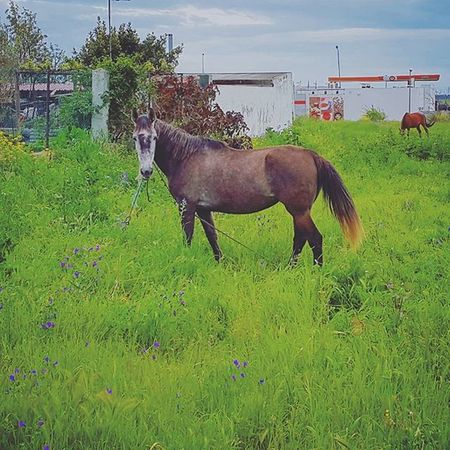 Nature Natureza Naturelovers Spring Igersportugal Portugaldenorteasul Colorful Cores Colors Horses Brownhorse Gipsyhorse Horse Cavalo Égua Grass Relva Pastar Pastagem Eatinggrass Whatthefuckareyoulookingat Coice Kick Picoftheday Photooftheday instagram myview