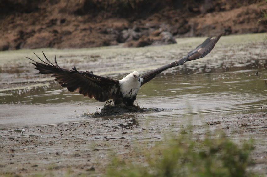 Eagle going in to attack Animal Themes Animal Wildlife Animals In The Wild Bird Bird Of Prey Close-up Day Flying Motion Nature No People One Animal Outdoors Spread Wings Water