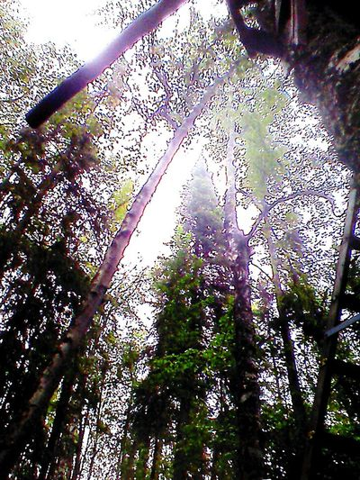 Looking up at the trees Tree Low Angle View Nature No People Outdoors Sky Day Creative Flair