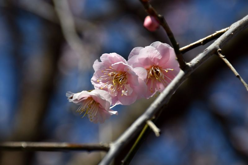 Plum Blossom EyeEm Gallery EyeEm Best Shots - Flowers EyeEm Best Shots - Nature EyeEm Selects Plant Flowering Plant Flower Beauty In Nature Growth Fragility Branch Pink Color Twig Flower Head Springtime Blossom Close-up Freshness Nature No People Tree Petal