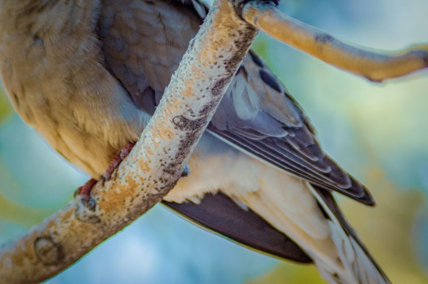 Bird View Bird On A Branch Mourning Dove EyeEm Selects Animal Animal Wildlife Close-up Animal Themes Animals In The Wild Focus On Foreground One Animal Low Angle View Growth Beauty In Nature Nature