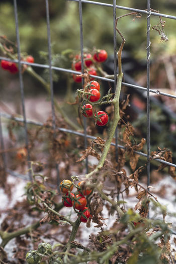 Tomatoes Gardening Beauty In Nature Berry Fruit Close-up Day Farming Focus On Foreground Food Food And Drink Freshness Fruit Growth Healthy Eating Healthy Food Nature Organic Farm Organic Food Plant Red Selective Focus Tomato Vegetables Wellbeing