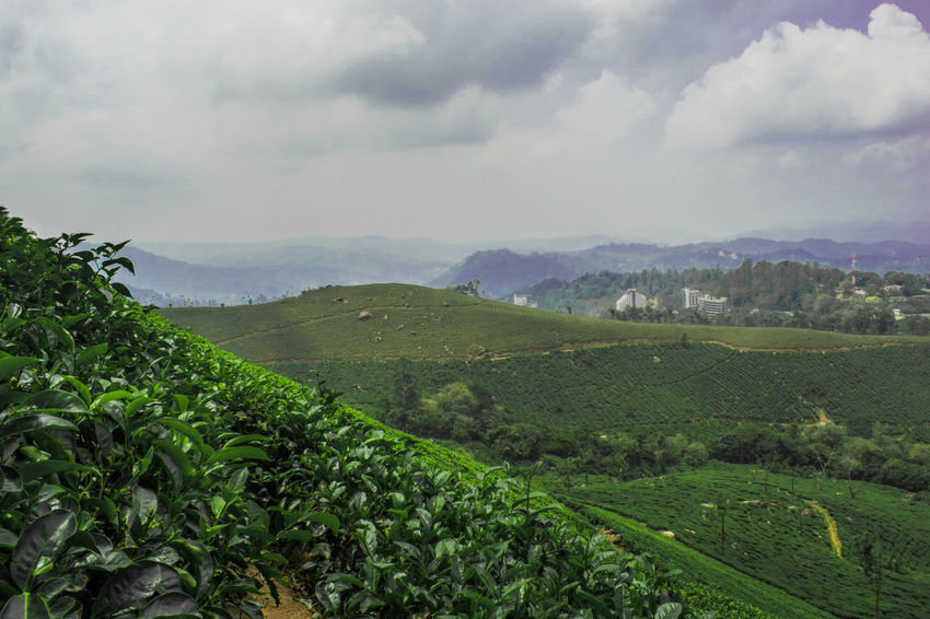 Valley of tea plantations Agriculture Rural Scene Tea Crop Valley Field Hill Farm Environmental Conservation Crop  Nature Landscape Cultivated Land Dramatic Sky Cloud - Sky Green Color Environment Beauty In Nature Scenics Outdoors Munnar Kerala Teagardens India Idukki Landscapes MunnarHillstation