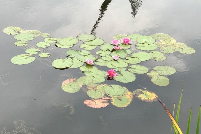 Pond Water Lily Water Floating On Water Beauty In Nature