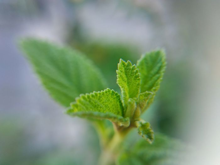 Close-up of mint leaves