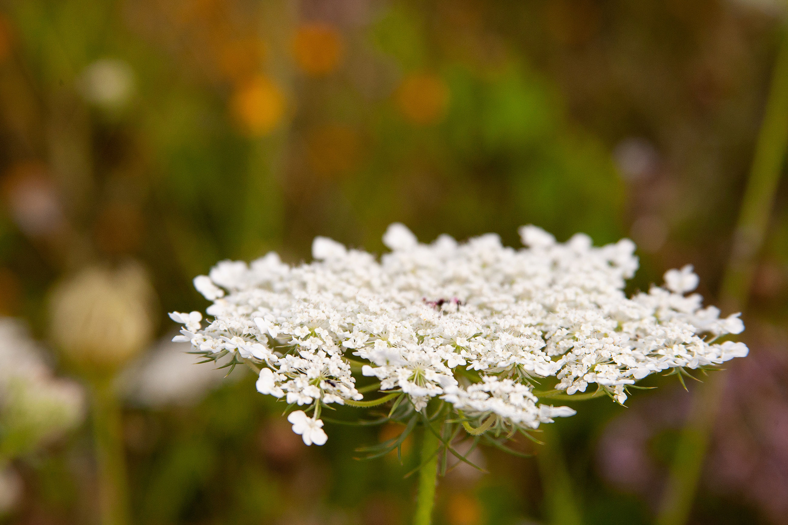 plant, flower, flowering plant, white color, beauty in nature, freshness, growth, close-up, focus on foreground, vulnerability, nature, fragility, no people, day, selective focus, land, outdoors, petal, flower head, tree