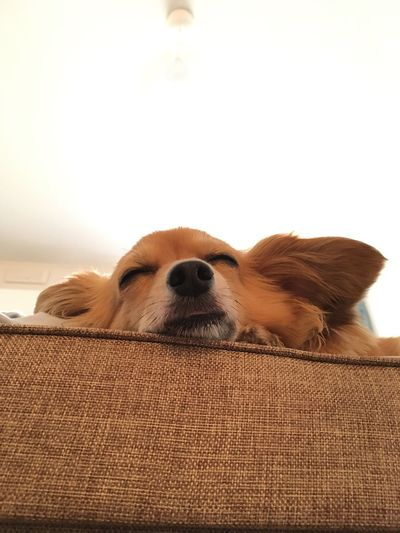 Low angle view of chihuahua sleeping on sofa at home