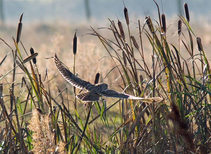 Short eared owl Teesmouth National Nature Reserve Tees Rushes Short Eared Owl Animal Wildlife No People Flying Bird Nature Quartering Hunting