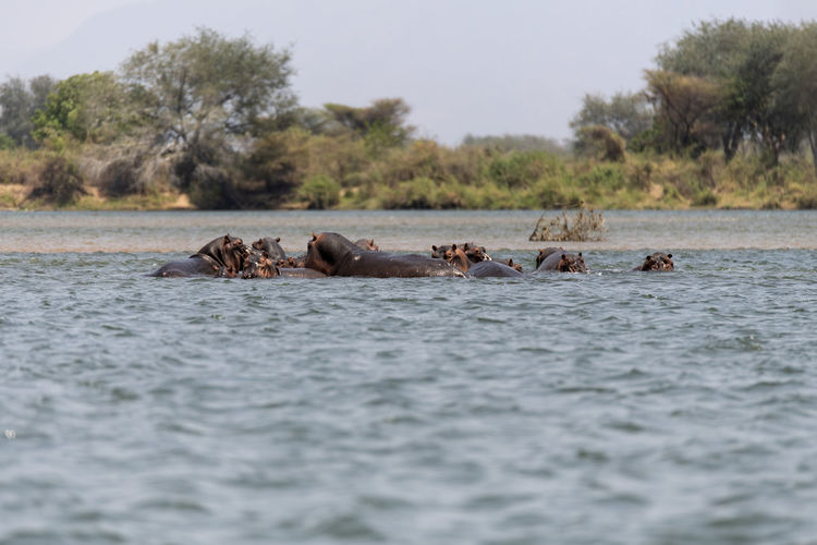 View of hippos swimming in water