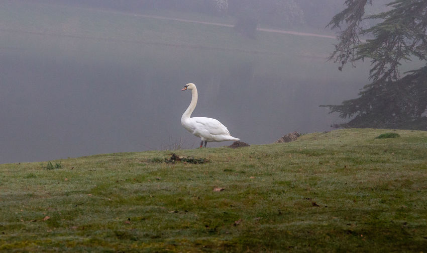 Croome Fog Mist Outdoors Beauty In Nature Bird Animal Wildlife One Animal Vertebrate No People Nature Swan White Color