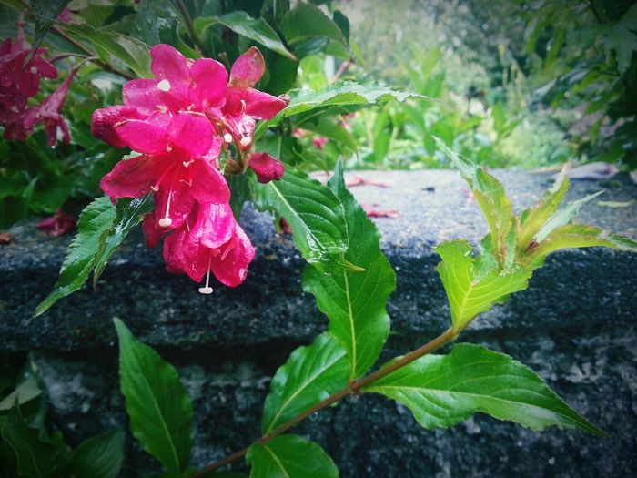 Pink Flowers Stone Wall Nature Natural Beauty Leaves And Flowers Garden Beautiful Green Leaves Flowers Garden Flowers Pink Color