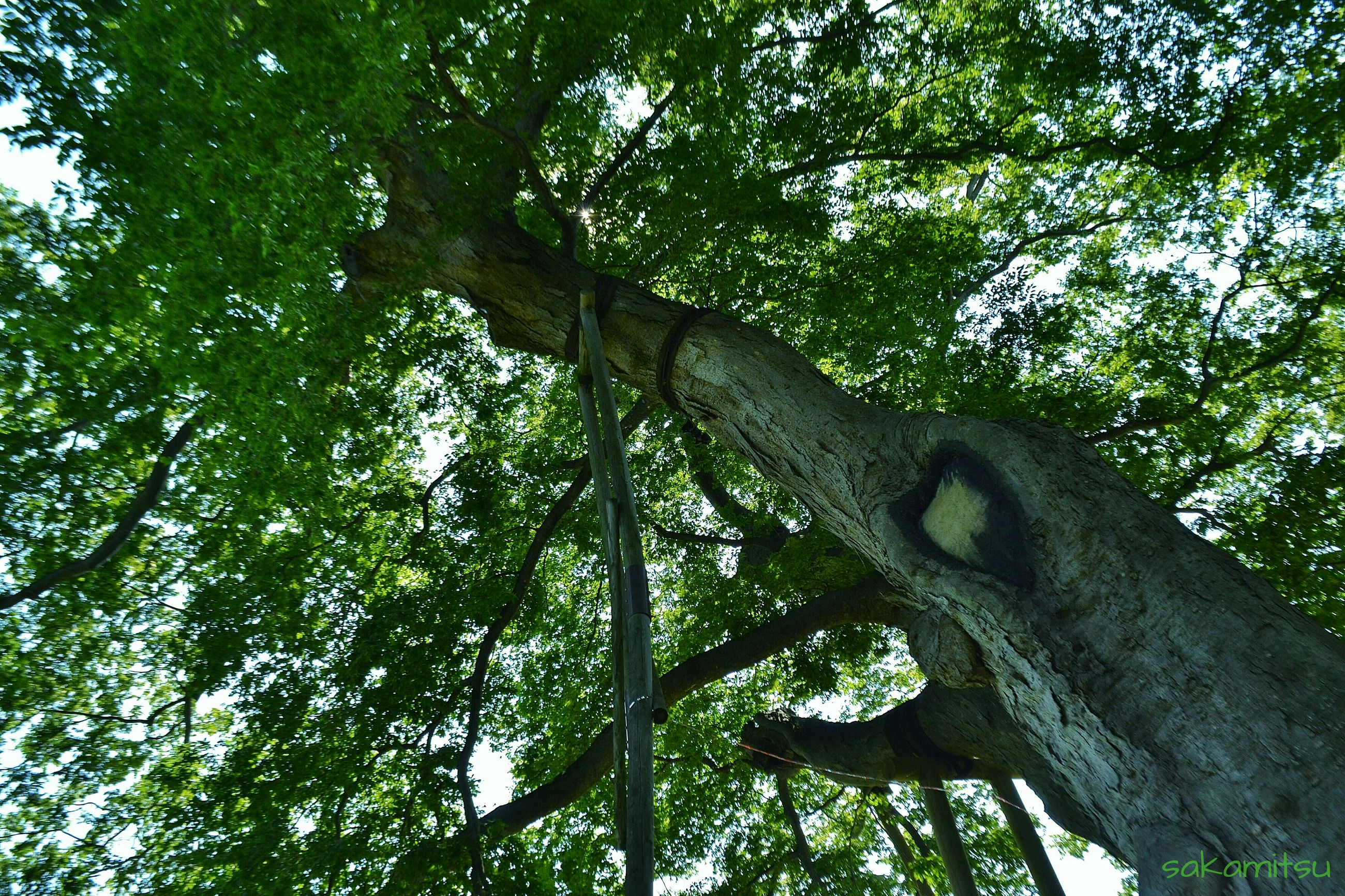 tree, low angle view, branch, growth, tree trunk, tranquility, nature, forest, green color, beauty in nature, day, sky, lush foliage, outdoors, scenics, no people, tranquil scene, woodland, leaf, sunlight