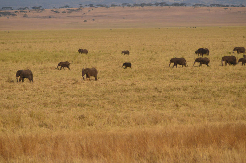 African Elephants in the Plain African Elephants African Plains Animal Themes Animals In The Wild Beauty In Nature Crowd Of Elephants In The Plain Field Grass Herd Landscape Large Group Of Animals Nature Outdoors Safari Animals Tanzania Plains