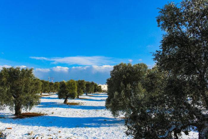 Olive Tree Puglia Beauty In Nature Blue Cloud - Sky Day Forest Growth Italy Nature No People Outdoors Peaceful Scenics Sky Snow Snowfall Tranquil Scene Tranquility Tree Water White