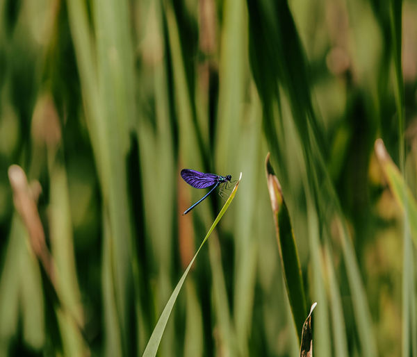 Damselfly on blade of grass
