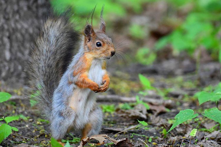 Squirrel Nikon