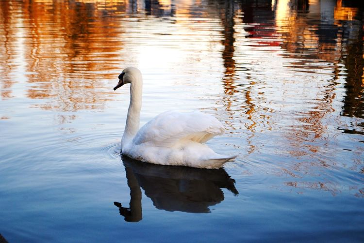 EyEmNewHere Eyemphotography Landscape Reflections Canal Swan Bird Water Swimming Lake Black Swan Water Bird Reflection Animal Themes