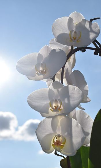 Close-up of fresh white flowers against sky