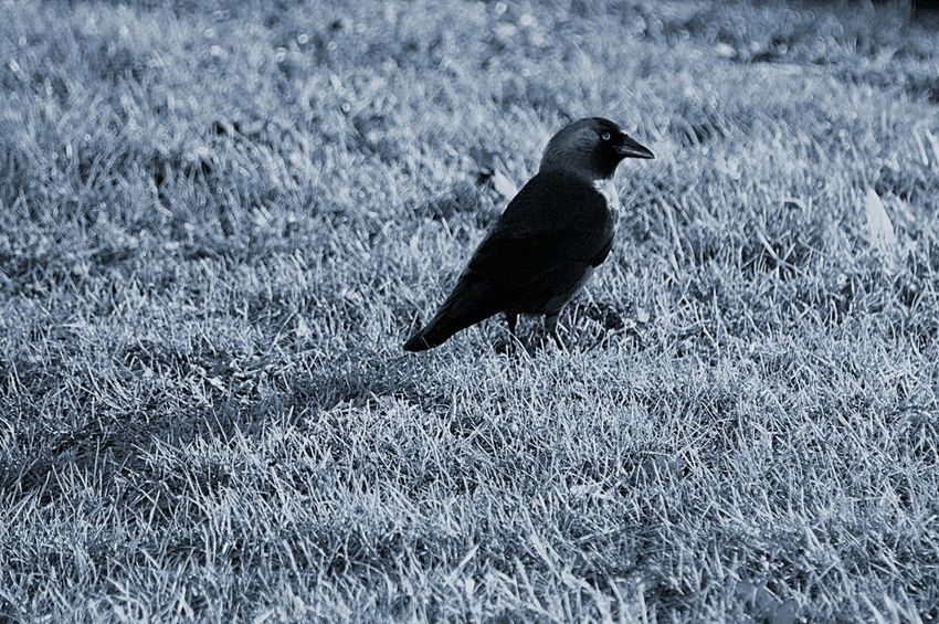 Crow Iwishihadabettercamera Nature Bird Animal Black'n'white