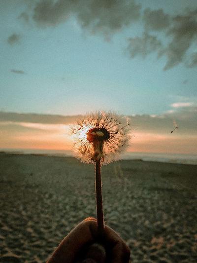 A dandelion is