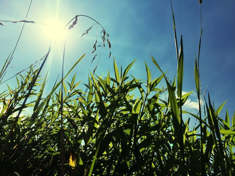 Sun Sunlight Growth Plant Close-up Grass Sunbeam Beauty In Nature Tranquility Field Sky Nature Green Color Sunny Scenics Bright Blue Stalk Lens Flare