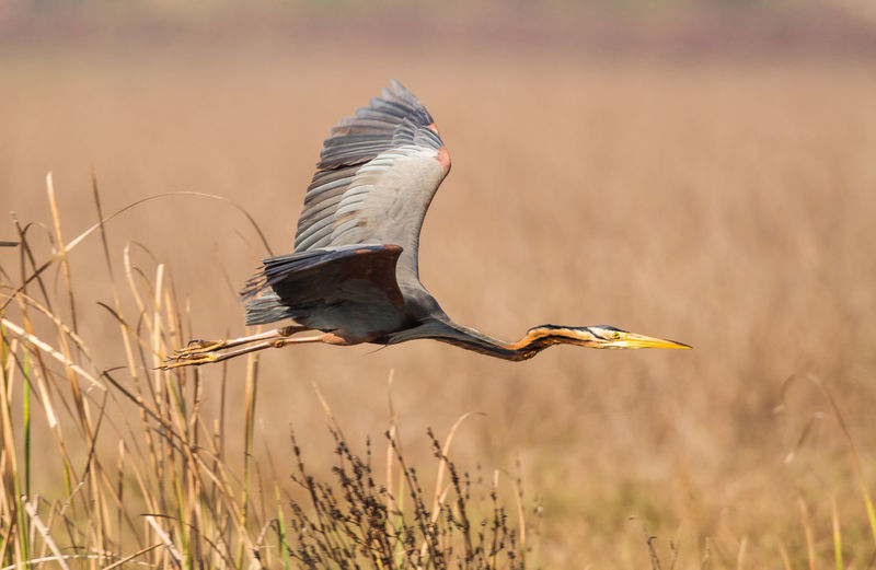 High angle view of gray heron flying
