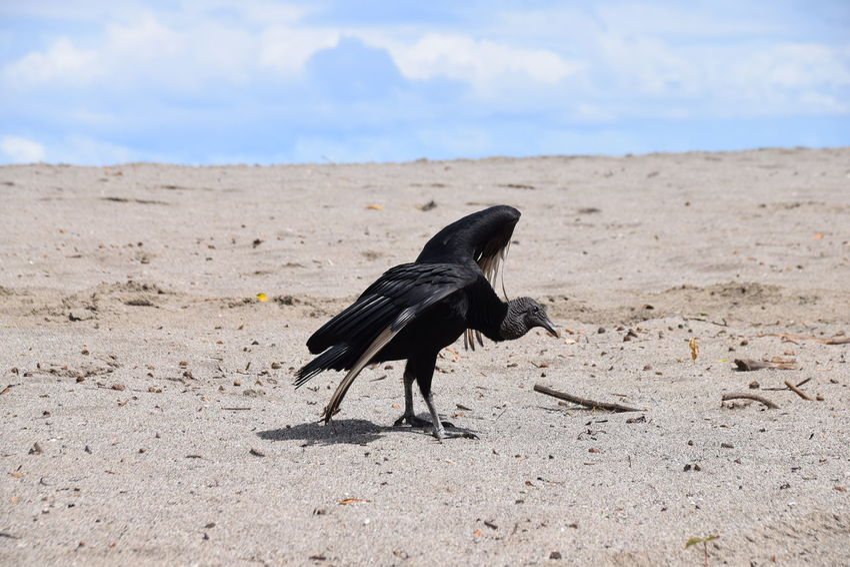 black vulture (Coragyps atratus) Animal Themes Animal Wildlife Animals In The Wild Bird Black Vulture Coragyps Atratus Day No People One Animal Outdoors Sand