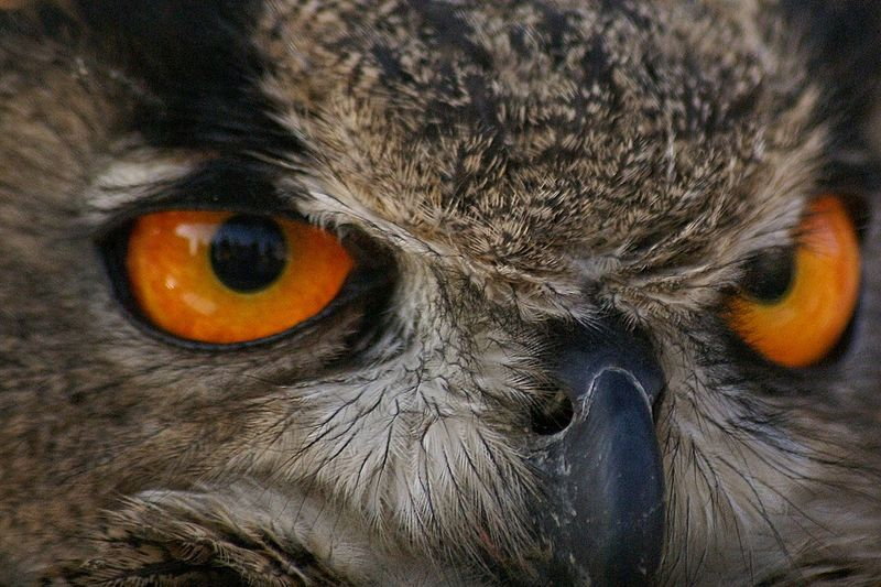 Full Frame Shot Of Eurasian Eagle Owl