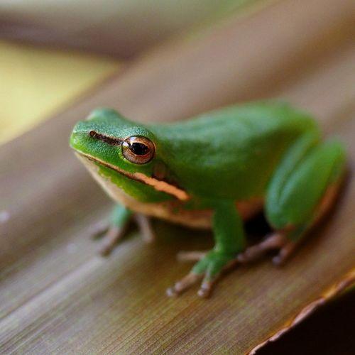 Frog Green Leafchiller