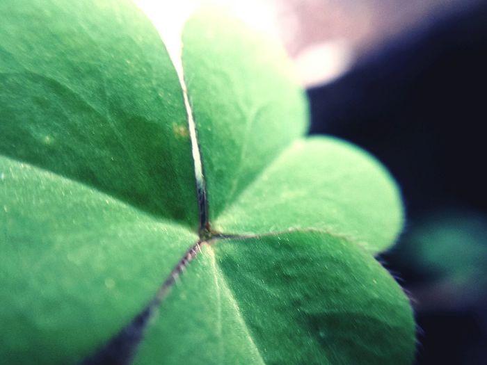 Lucky Clover. Get lucky today, everybody. Luckyclover Lucky Clover Chlorophyll Green Leaf Greenleaf