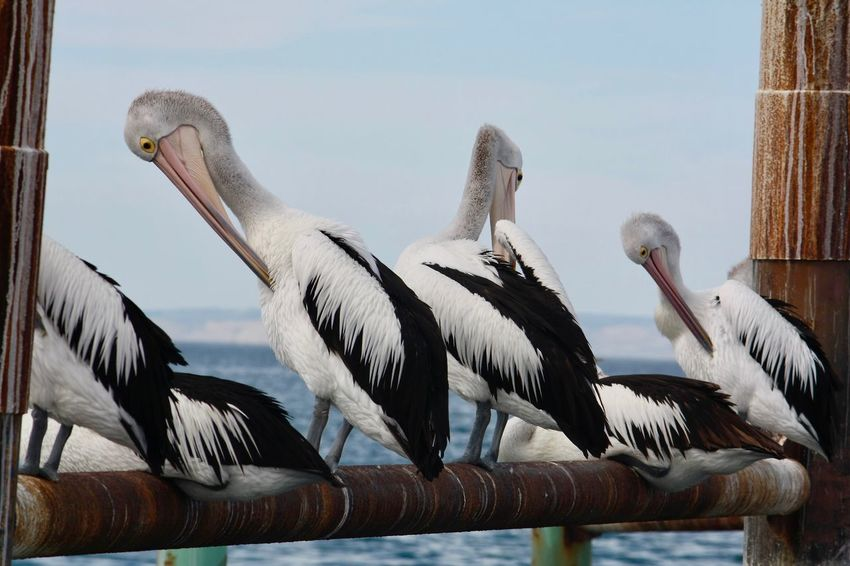 Australia Like A Painting Animal Animals In The Wild Beauty In Nature Bird Group Of Animals Kangaroo Island Kingscote Outdoors Pelican